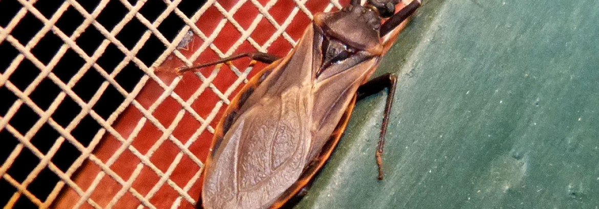 Kissing bugs and the Chagas Disease Threat in Ventura County