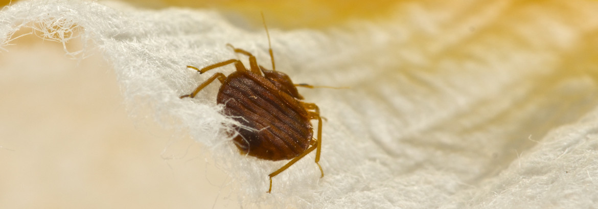 Dispelling Common Bed Bug Myths