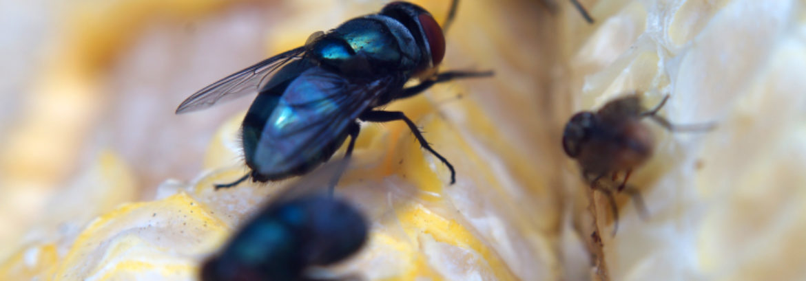 The Hidden Dangers of the House Fly