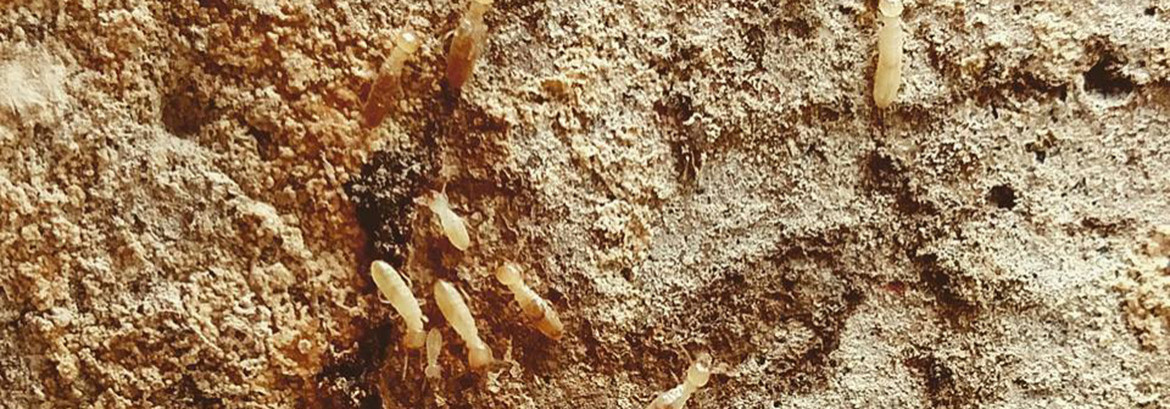 Subterranean termites are a potent threat in Ventura